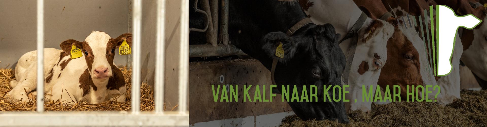 van kalf naar koe